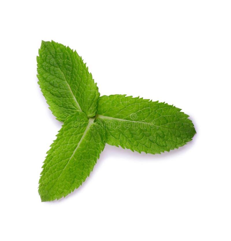 Dwa zielonego liścia mennica, odosobnionego na białym tle Dojrzały i jaskrawy - zielony liść mennica Lecznicza mennica obraz royalty free