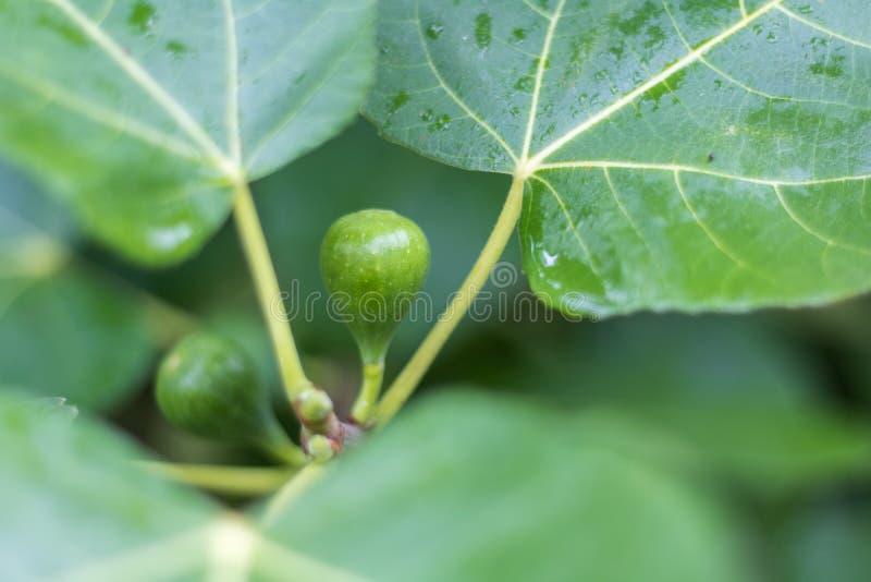 Dwa zielonej figi na drzewie fotografia stock