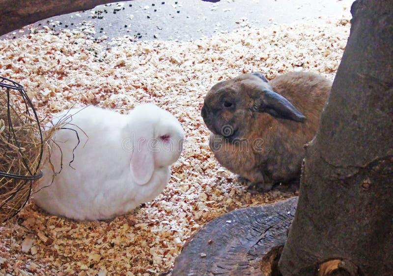 Dwa zwierzę domowe królików biały brąz w hutch obraz stock
