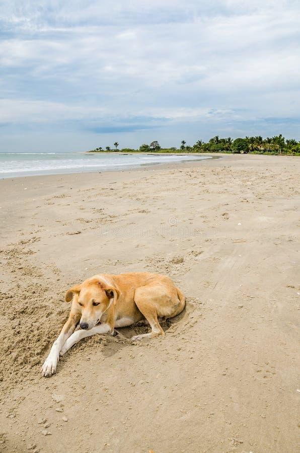 Dwaal wilde hond leggend bij strand met oceaan op achtergrond, Gambia, West-Afrika af stock afbeeldingen