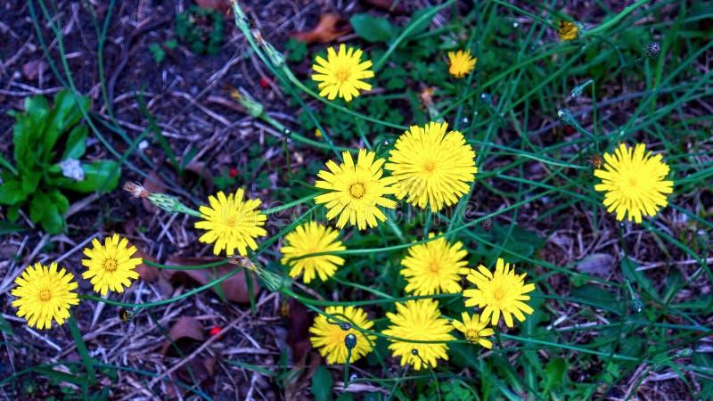 Dwanaście dandelion kwiatów od wierzchołka obraz royalty free