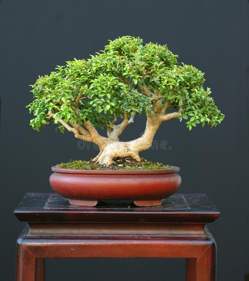 Dwarf boxwood bonsai stock image