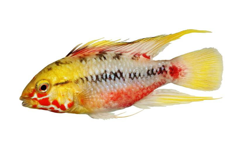Dwarf cichlid Aquarium Fish Apistogramma hongsloi.  stock photography
