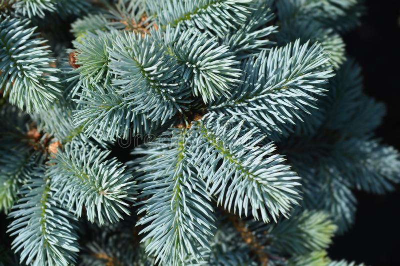 Dwarf Colorado blue spruce. Latin name - Picea pungens Glauca Globosa royalty free stock photo