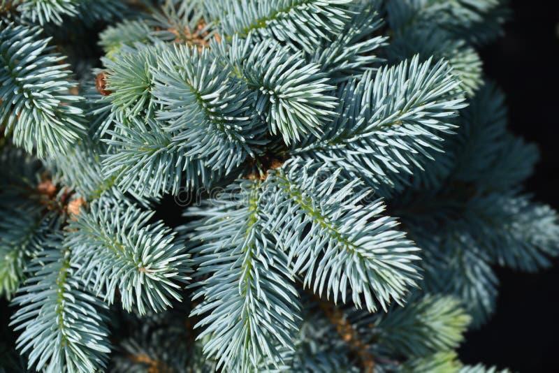 Dwarf Colorado blue spruce royalty-vrije stock foto
