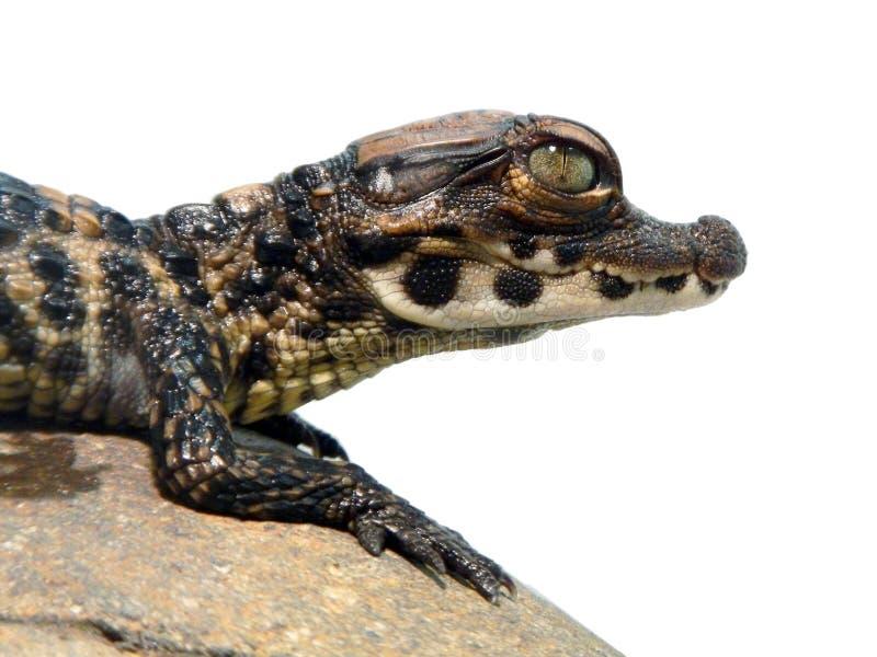 Dwarf crocodile baby stock images