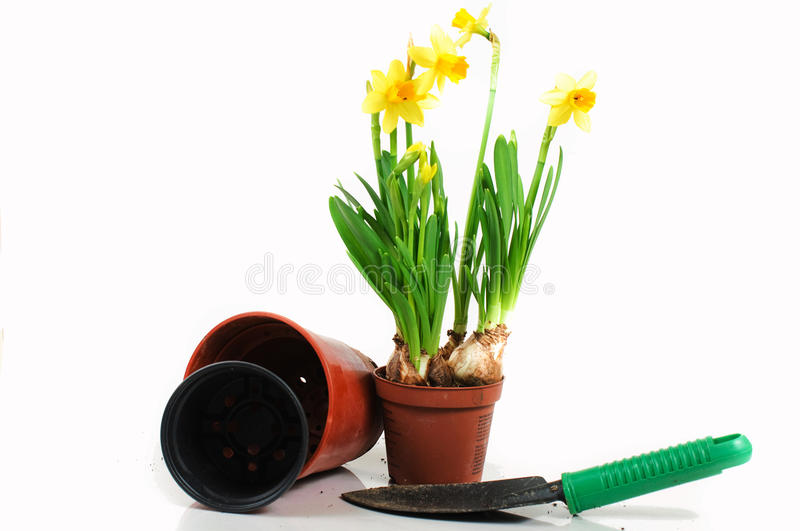 Dwarf daffodils in pot royalty free stock photos
