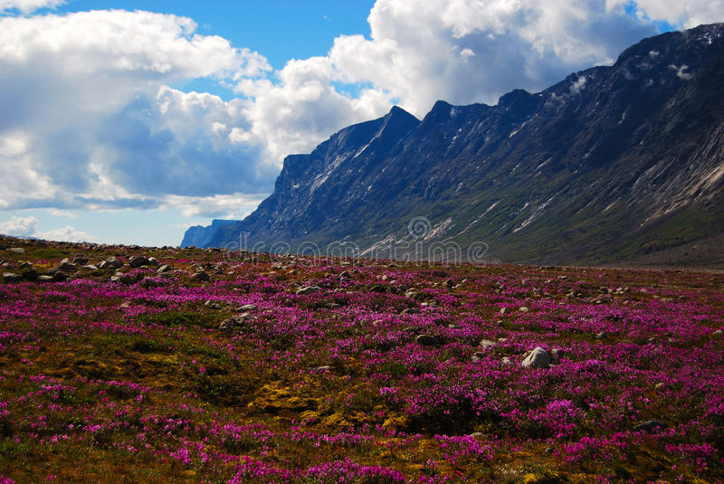 Dwarf Fireweed in Auyuittuq stock images