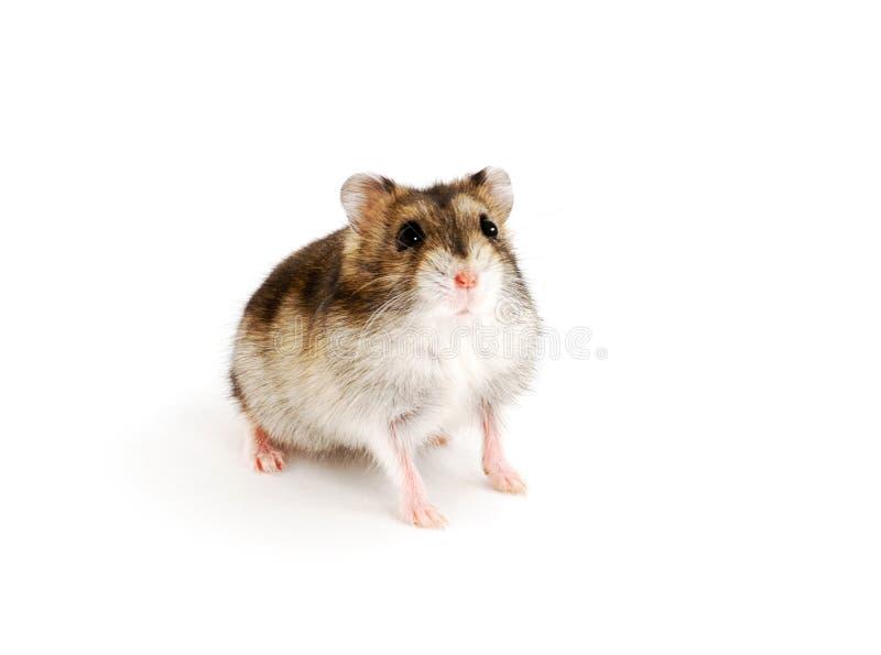 Dwarf hamster stock images