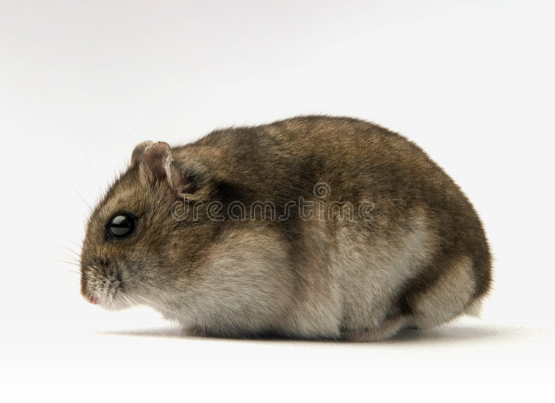 Dwarf hamster royalty free stock photo