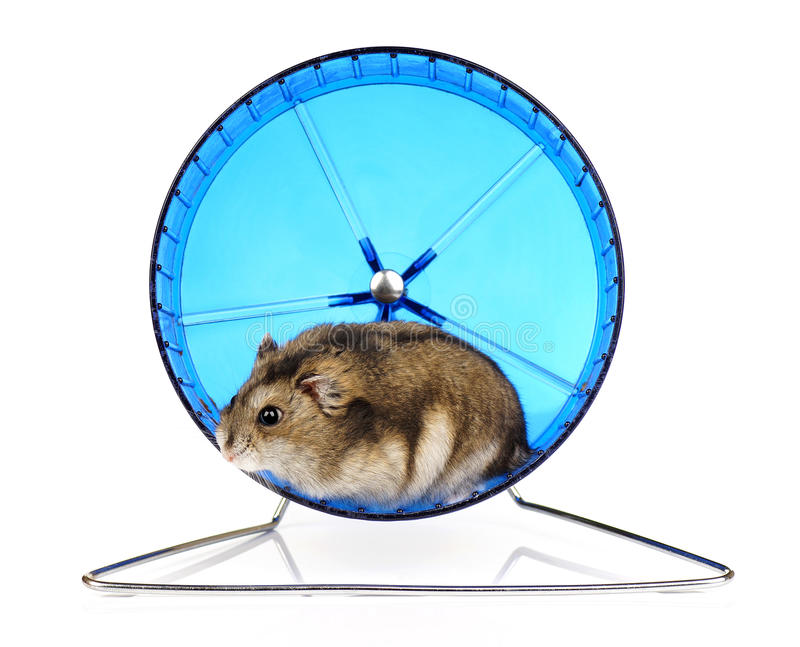 Download Hamster Wheel stock photo. Image of exercise, fluffy - 34249764