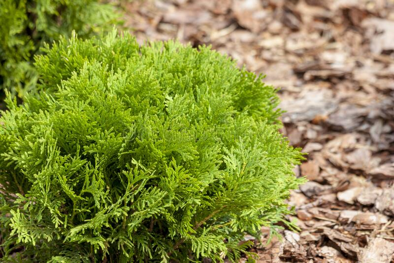 Dwarf Hinoki Cypress. On a wooden sawdust royalty free stock photography