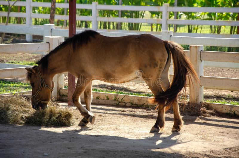 Dwarf horse is eating Straw bales. In white fence under morning sunshine stock photo