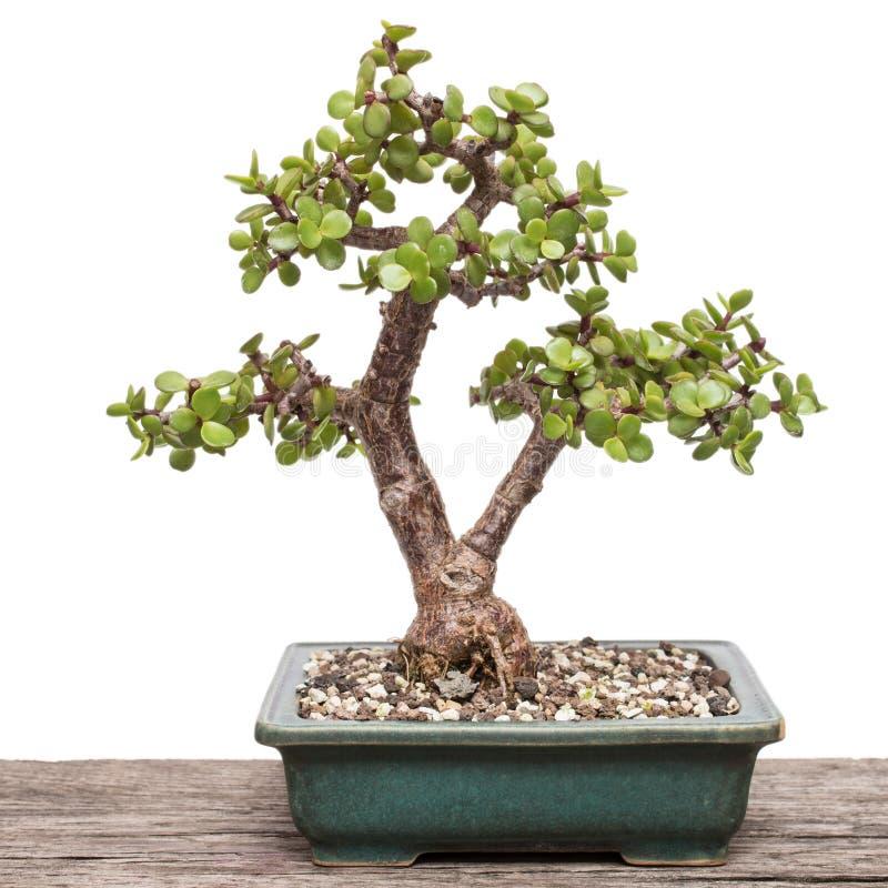 dwarf jade plant portulacaria afra as bonsai tree stock photo image of tree plant 88133932. Black Bedroom Furniture Sets. Home Design Ideas