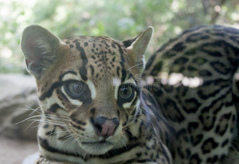 Dwarf leopard royalty free stock photo