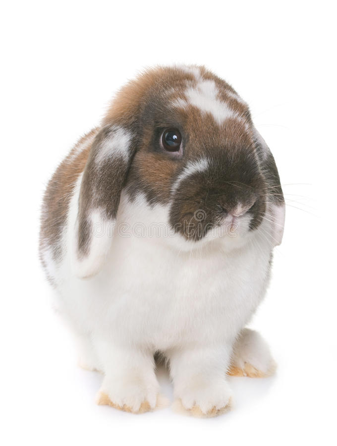 Dwarf lop-eared rabbit. In front of white background royalty free stock image
