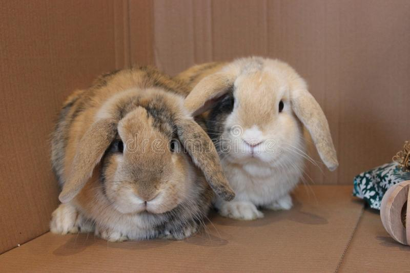 Dwarf lop rabbit brothers indoor pets. Cute dwarf lop rabbit brothers indoor pets looking at the camera stock photo