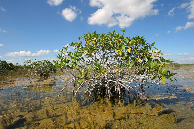 Dwarf Mangrove Trees of Everglades National Park, Florida. Dwarf Mangrove Trees of Everglades National Park, Florida, standing in deep, clear water after heavy royalty free stock photo