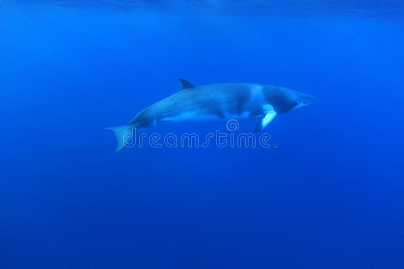Dwarf minke whale stock images