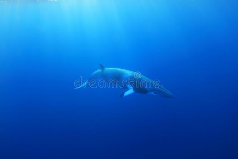 Dwarf minke whale. Balaenoptera acutorostrata underwater in the Great Barrier Reef royalty free stock images