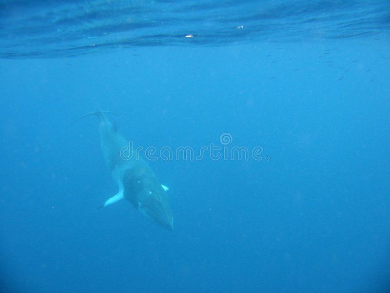 Download Dwarf Minke Whale Dive stock photo. Image of waters, reef - 8772534