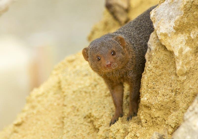 Download Dwarf Mongoose stock image. Image of tapered, camera - 14119529