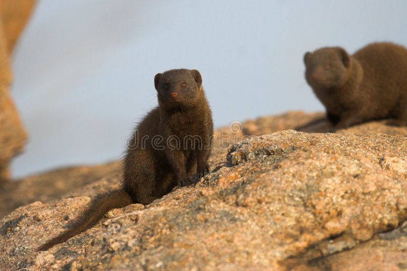 Download Dwarf Mongoose stock image. Image of blur, omnivore, park - 1439963