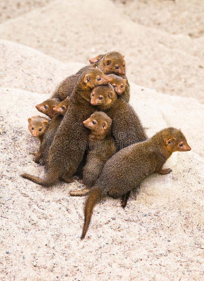 Download Dwarf mongoose stock photo. Image of hair, african, head - 16323734
