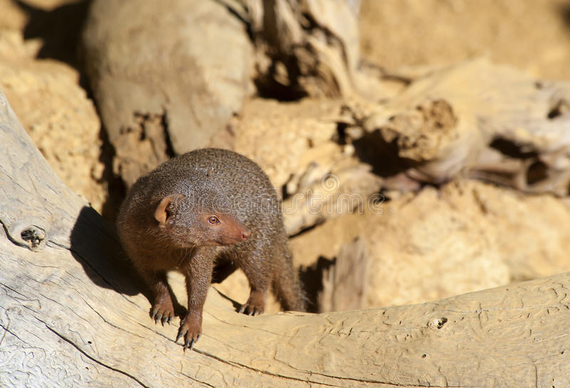 Download Dwarf Mongoose stock photo. Image of family, round, tapered - 18724544