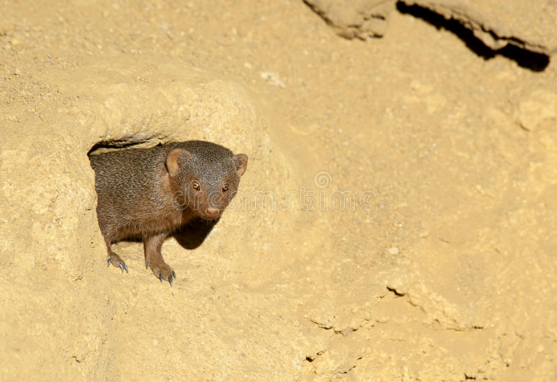 Download Dwarf Mongoose stock image. Image of tail, ears, weasel - 18724631