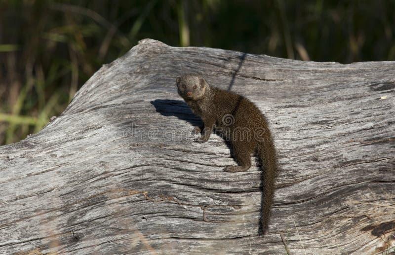 Download Dwarf Mongoose - Botswana stock photo. Image of wild - 15193880