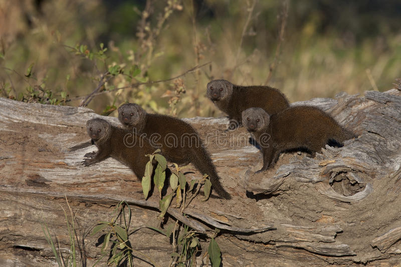 Download Dwarf Mongoose - Botswana stock image. Image of parvula - 22717459