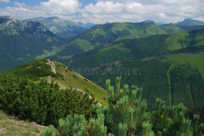 Dwarf mountain pine royalty free stock photos