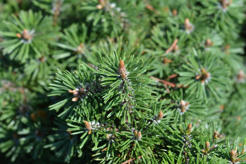 Dwarf mountain pine Humpy royalty free stock images