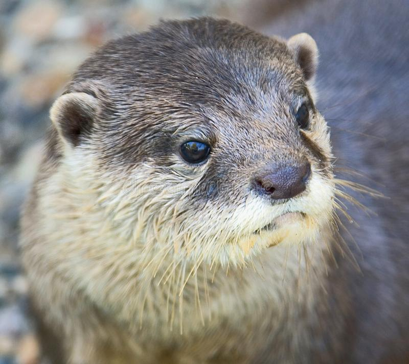 Dwarf otter 2 royalty free stock photography