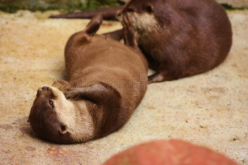Download Dwarf Otter Royalty Free Stock Photography - Image: 26574107