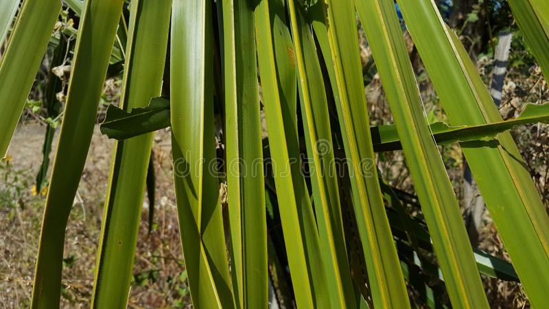 Dwarf palmetto, a plant with sharp thorns. That usually grows in the tropics. The picture is suitable to be used as a background image stock photo