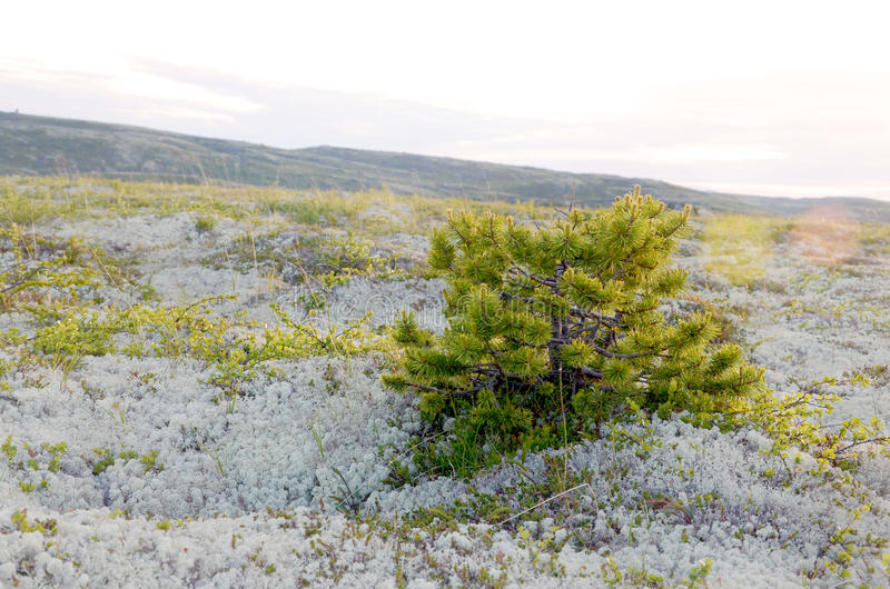 Dwarf pine in the Arctic tundra stock photography