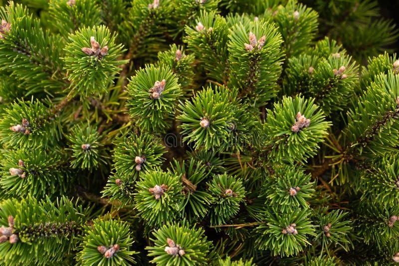 Dwarf, pine Sherwood Compact i trädgården, närliggande arkivfoto