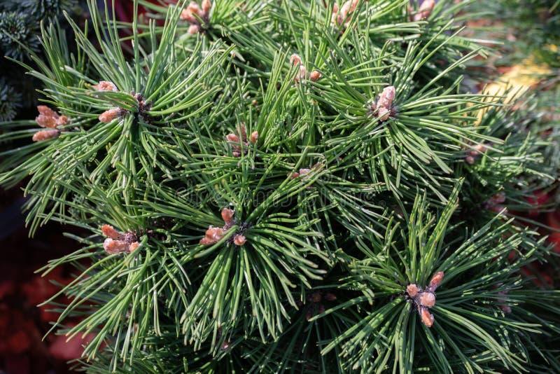 Dwarf, pine Sherwood Compact i trädgården, närliggande royaltyfri bild