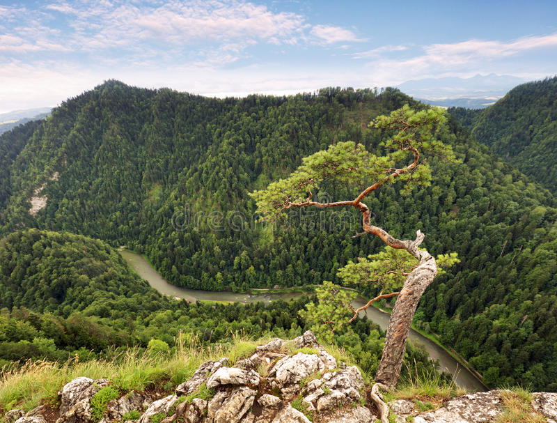 Dwarf pine tree on Sokolica peak, Pieniny, Poland.  royalty free stock photo