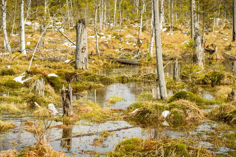 Dwarf pygmies on the bog, swampy area royalty free stock photography