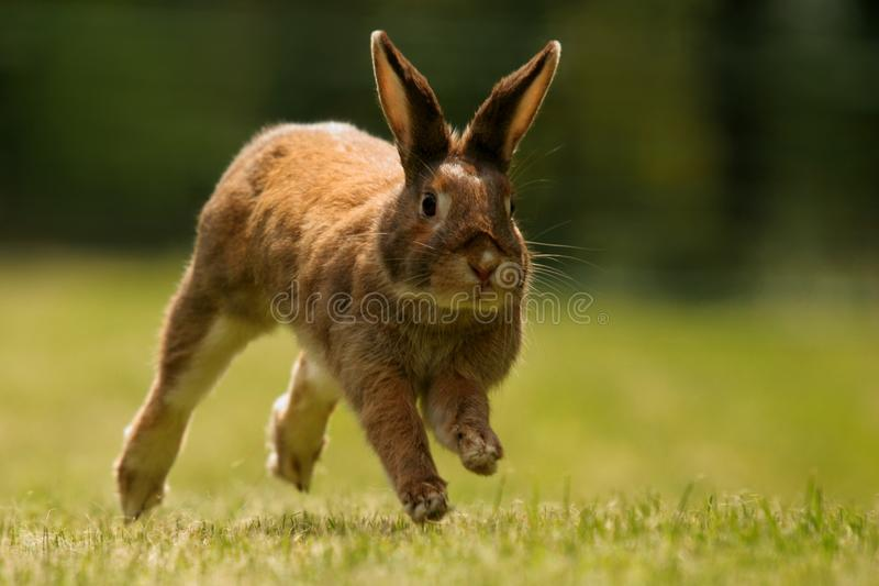 Dwarf rabbit. Running on grass. A Doe of a  of mixed colors reddish, black, brown and grey spots on a fur. The background is very well blured. Oryctolagus royalty free stock photos