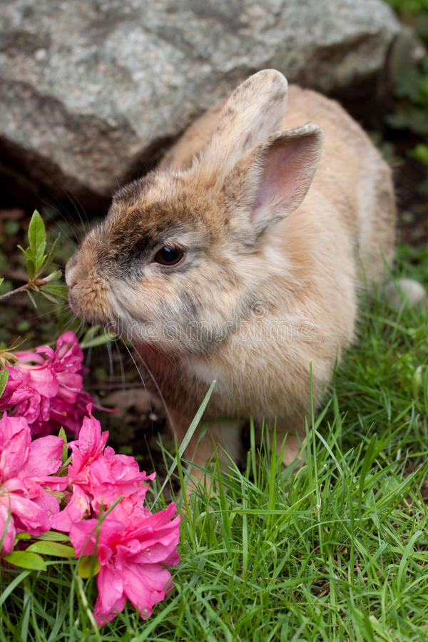 Dwarf rabbit. In a garden stock images