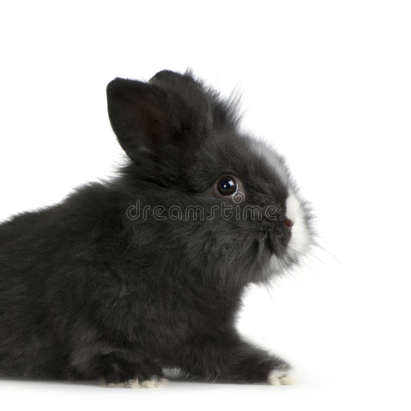 Dwarf rabbit. In front of a white background royalty free stock photo