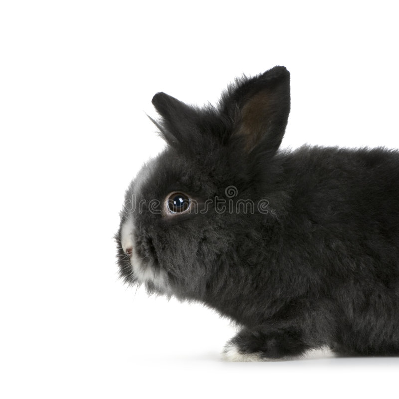 Dwarf rabbit. In front of a white background stock images