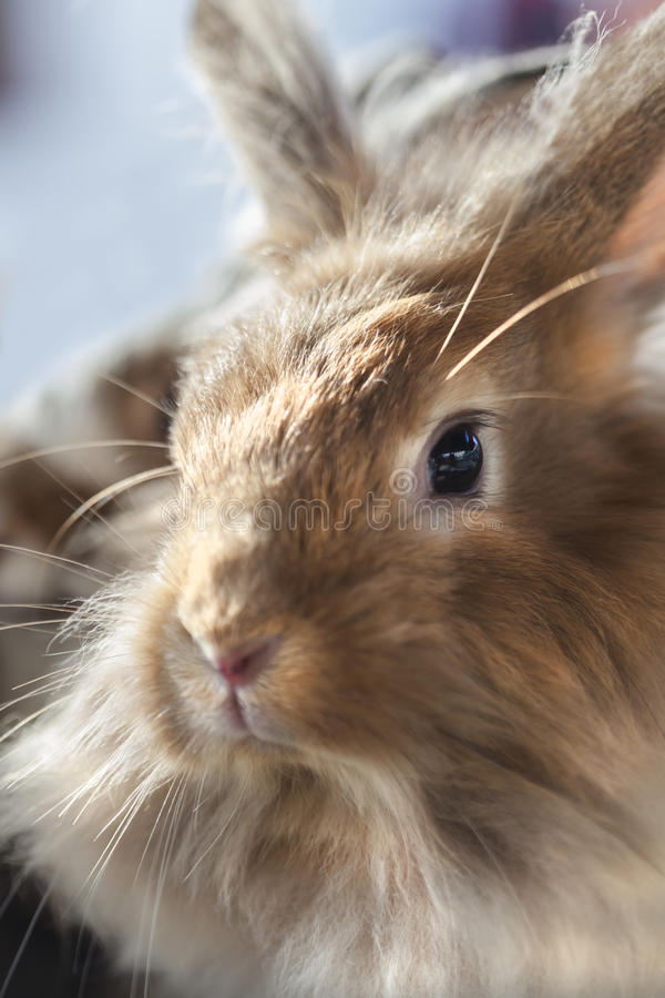 Dwarf rabbit. Sweet face of a dwarf rabbit royalty free stock photography