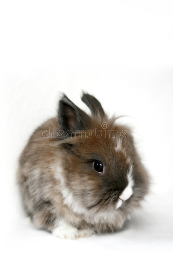 Dwarf rabbit. A cute dwarf rabbit isolated on white background stock photography