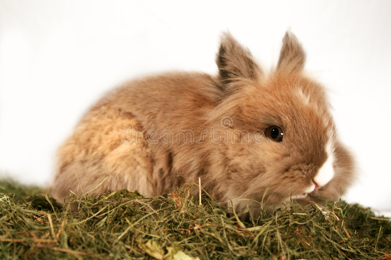 Dwarf rabbit. A cute dwarf rabbit in the grass royalty free stock photos