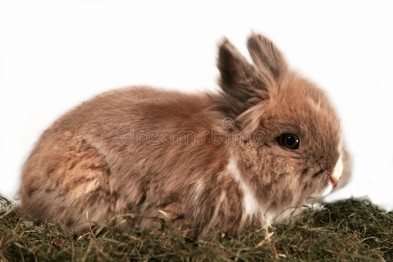 Dwarf rabbit. A cute dwarf rabbit in the grass stock photo